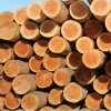 wood logs / roundwood - tree cedar