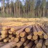 wood logs / roundwood - tree pine